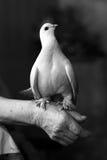 Portrait of white dove stock photos