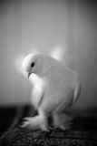 Portrait of a white dove. Portrait of a beautiful white dove Royalty Free Stock Photos