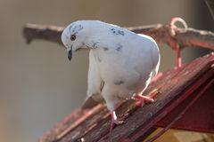 Portrait of a white dove Stock Photo
