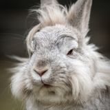 A portrait of a white dwarf rabbit. Lions head Royalty Free Stock Photos