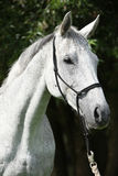 Portrait of white English Thoroughbred horse Royalty Free Stock Images