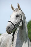 Portrait of white English Thoroughbred horse with halter Royalty Free Stock Photography