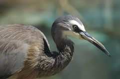 Portrait of a white-faced heron Royalty Free Stock Image