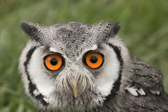 Portrait of a white faced scops owl Royalty Free Stock Images