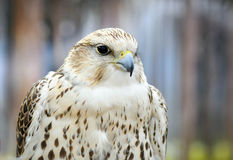 Portrait of a white falcon bird of prey Royalty Free Stock Image