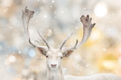 Portrait of white fallow deer in winter time. royalty free stock images