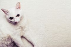 Portrait of a white fat old cat on a white fur rug. Selective focus on cat face.  royalty free stock images