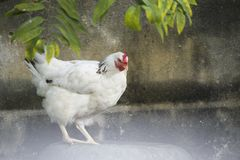 Portrait of a white feathered chicken in a backyard in Cuba. A portrait of a white feathered chicken in a backyard in Cuba stock photos