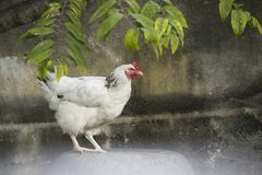 Portrait of a white feathered chicken in a backyard in Cuba. A portrait of a white feathered chicken in a backyard in Cuba royalty free stock image