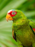 Portrait of White-fronted Parrot Stock Images