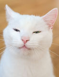 Portrait of white funny cat Royalty Free Stock Image