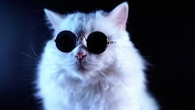 Portrait of white furry cat in fashion eyeglasses. Studio footage. stock video footage