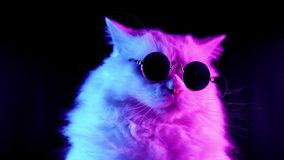 Portrait of white furry cat in fashion eyeglasses. Studio neon light footage. stock footage