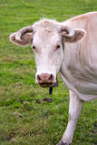 Portrait of a white Gasconne cow, France Stock Image