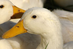 Portrait of white geese.. Close-up of two white geese.  Focus on eyes and bill Stock Images