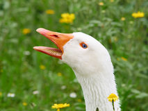 Portrait of a white geese with beak open. Grass and yellow flowers in background royalty free stock image