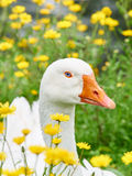 Portrait of a white geese in the grass surrounded by yellow flowers. Portrait of a white geese with blue eyes in the grass surrounded by yellow flowers royalty free stock photos