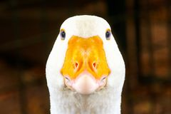 Portrait of a white geese with an orange beak royalty free stock image