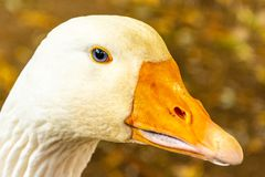 Portrait of a white geese with an orange beak royalty free stock photography