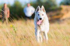 Portrait of a white German Shepherd Stock Photos