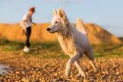 Portrait of a white German Shepherd at a pebble beach Royalty Free Stock Photos