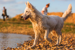 Portrait of a white German Shepherd at a pebble beach Stock Image