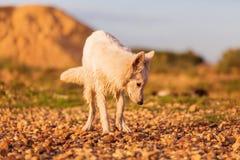 Portrait of a white German Shepherd at a pebble beach Stock Photos