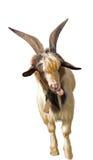 Portrait of white goat Stock Images