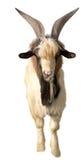 Portrait of white goat Stock Image