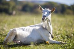Portrait of white goat with beard on blurred bokeh background. Farming of useful animals concept
