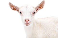 Portrait of a white goat Royalty Free Stock Image