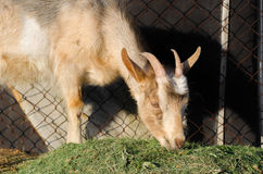 A portrait of white goat. While eating Stock Photo