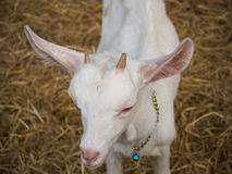 Portrait white goat in farm Stock Photo