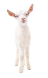 Portrait of a white goat in full length Stock Photos