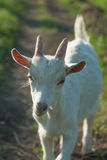 Portrait of a white goatling standing on summer pasture Royalty Free Stock Photo