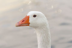 Portrait of a white goose. stock photo