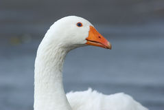Portrait of a white goose. Close-up portrait of a white goose in a countryside. Selective focus royalty free stock photography
