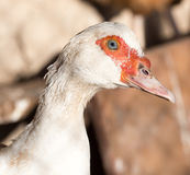 Portrait of a white goose on a farm Royalty Free Stock Image