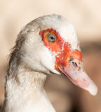Portrait of a white goose on a farm Stock Photos