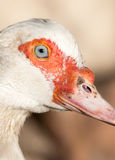 Portrait of a white goose on a farm Royalty Free Stock Images