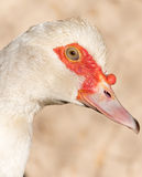 Portrait of a white goose on a farm Stock Image