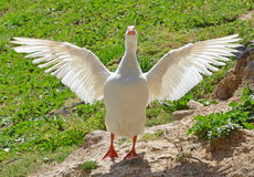 Portrait of white goose Stock Photo