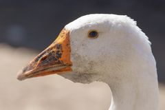 Portrait of a white goose in nature.  stock images
