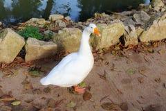 Portrait of a white goose. On a stone path stock photos