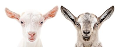 Portrait of a white and gray goats. Closeup, isolated on white background stock photography