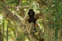 Portrait of white-handed gibbon. Standing on the tree Stock Images