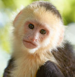 Portrait of white headed capuchin monkey. Close-up portrait of white headed capuchin monkey in a forest of Honduras royalty free stock photos
