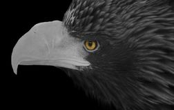 Portrait of a white-headed eagle with a large beak. And bright yellow eyes in black and white format close-up stock photography