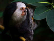 Portrait of a White-headed Marmoset stock photo