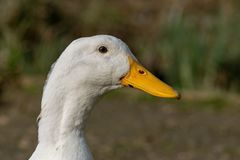 Portrait of a white heavy Pekin Duck royalty free stock image